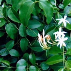 Cây chè vằng là loại thảo dược mang đến nhiều lợi ích cho sức khỏe