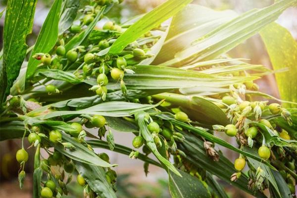 Hình ảnh cây Ý Dĩ