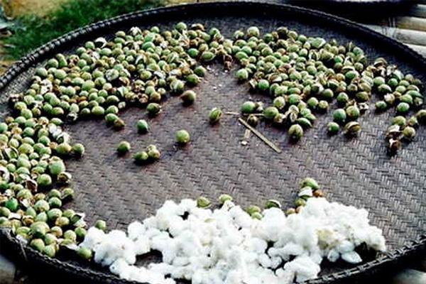 Hạt cây bông được sử dụng để tăng dòng sữa mẹ sau sinh
