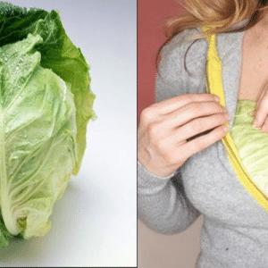 Sử dụng bắp cải xanh để chữa tắc tia sữa