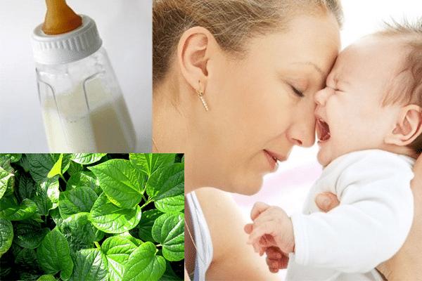 Ăn lá lốt làm giảm lượng sữa mẹ tiết ra