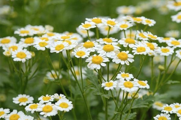 Cây hoa Cúc tươi ngoài thiên nhiên
