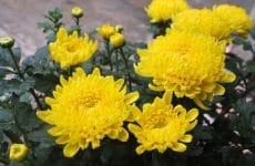 Cây hoa Cúc tươi được trồng nhiều ở Việt Nam