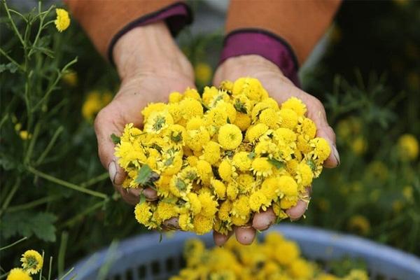 Cây hoa Cúc có rất nhiều tác dụng khác nhau