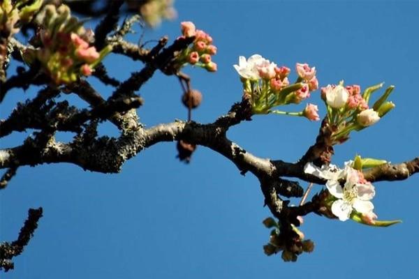 Hoa hạnh nhân mọc thành chùm có màu trắng hoặc hồng nhạt