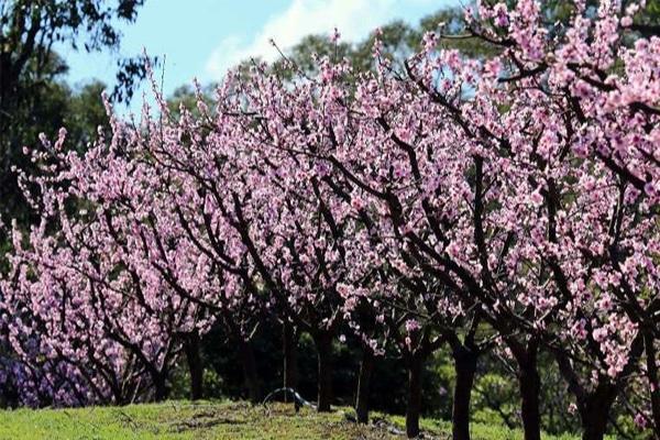 Cây hạnh nhân được trồng nhiều ở các nước xứ lạnh