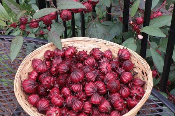 Hoa Atiso được sử dụng nhiều trong đời sống