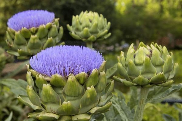 Atiso tươi được thu hái hàng năm vào tháng 7 đến tháng 10