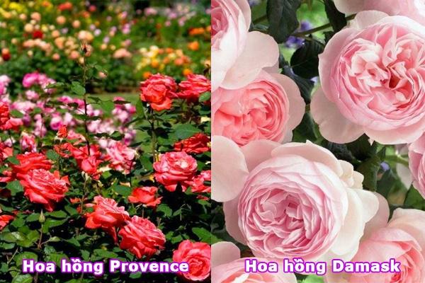 Hoa hồng Damask và hoa hồng Provence
