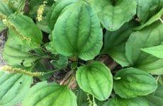 Đây là loại thảo dược được dùng phổ biến trong các bài thuốc Đông y