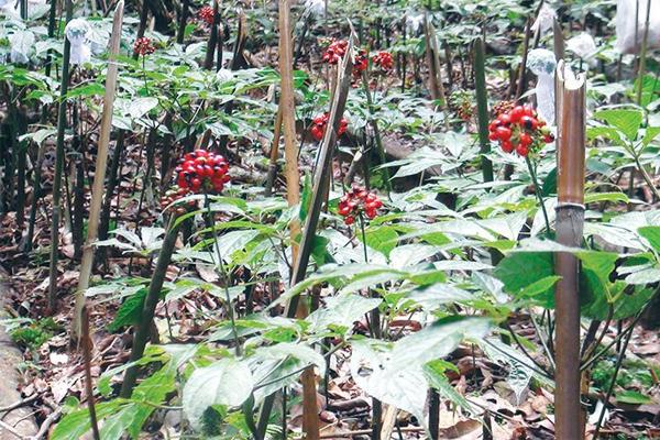 Sâm Ngọc Linh phân bố ở những khu rừng già có độ cao trên 1.200m