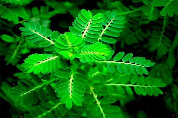 Diệp hạ châu là thực vật thân thảo được dùng chữa nhiều bệnh lý khác nhau