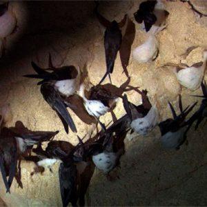 Tổ yến được tạo ra từ nước dãi của con chim yến và đặc biệt tốt với loại yến đảo tự nhiên