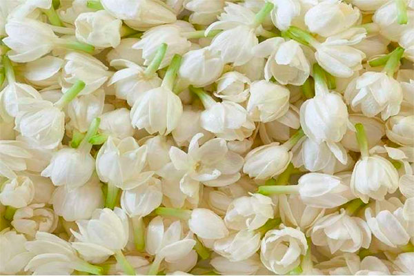 Những cánh hoa lài dậy mùi hương