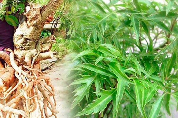 Lá, rễ, thân đều có thể thu hái làm thảo dược
