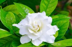 Cây hoa nhài trong tự nhiên