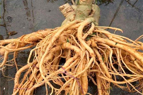 Rễ cây đặc biệt tốt cho sức khỏe con người