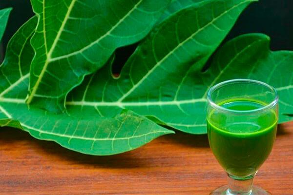 Nước từ lá đu đủ có nhiều công dụng đối với sức khỏe