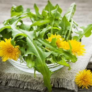 Bồ công anh là cây thảo dược quý, mọc nhiều ở phía Bắc Việt Nam