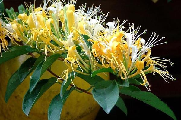 Hoa cây kim ngân là bộ phận được sử dụng để chữa nhiều loại bệnh