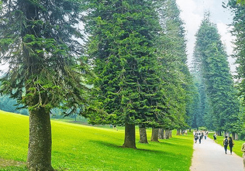 Cây thông là loại cây thân gỗ, dáng cao