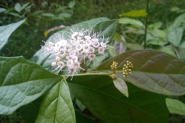 Hoa và quả của cây xạ đen