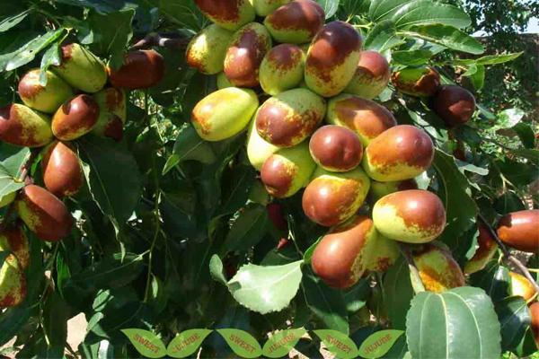 Để đáp ứng nhu cầu sử dụng, đại táo chủ yếu được nhập khẩu từ Trung Quốc