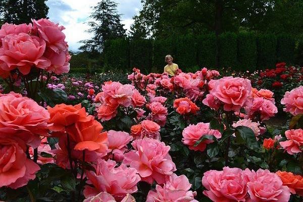 Hoa hồng có mặt trên khắp nước Việt