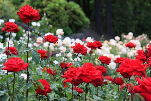 Cây hoa hồng chứa nhiều tinh chất quý