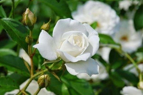 Hoa hồng bạch dùng chữa ho, viêm phế quản