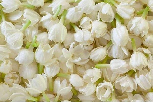 Việc sử dụng tinh dầu hoa nhài mỗi ngày sẽ khiến cơ thể bạn cân bằng trạng thái, điều hòa khí huyết