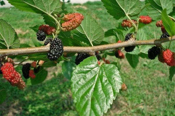 Dâu tằm là loại cây xuất hiện ở nhiều vùng miền của nước ta