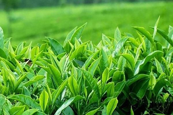 Lá chè xanh có nhiều tác dụng tốt cho sức khỏe