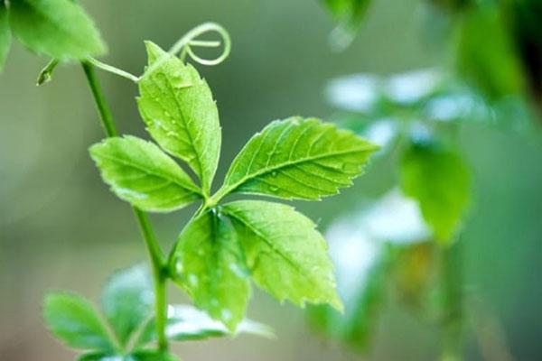 Giảo cổ lam được xem là 1 thảo dược quý trong Đông y