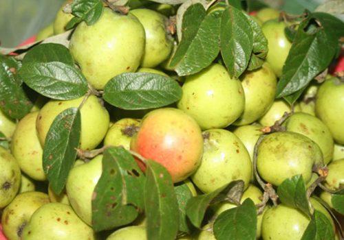 Bên cạnh công dụng chữa bệnh, táo mèo còn được ứng dụng trong làm đẹp