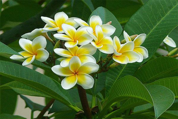 Hoa sứ trong tự nhiên có màu sắc vô cùng đẹp