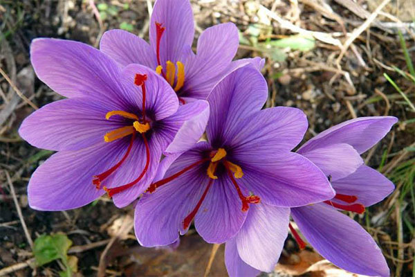 Nhụy hoa nghệ tây (saffron) còn được biết đến là sợi vàng đỏ