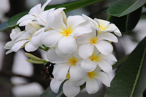Hoa sứ khô có thể mua được ở các hiệu thuốc Nam, Đông Y