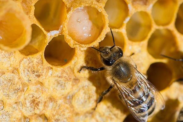 Sữa ong chúa được sản xuất từ những con ong thợ trên 7 ngày tuổi và là thực phẩm giàu dinh dưỡng