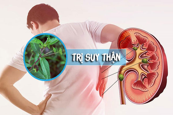 Cỏ mực có công dụng điều trị hiệu quả tình trạng sỏi thận
