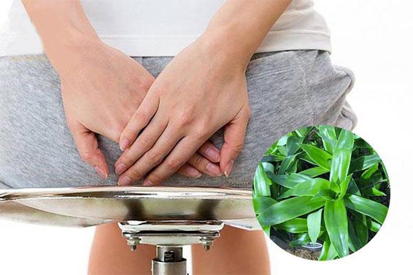 Cây lược vàng có tác dụng chữa bệnh trĩ
