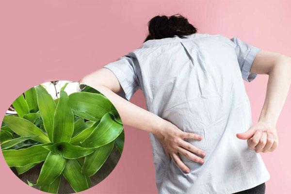 Cây lược vàng giúp chữa đau lưng hiệu quả