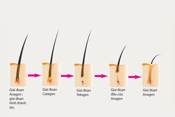 Chu kỳ sinh trưởng của sợi tóc