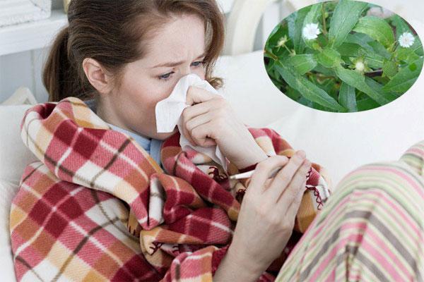Cỏ mực giúp điều trị nhanh chóng tình trạng cảm cúm
