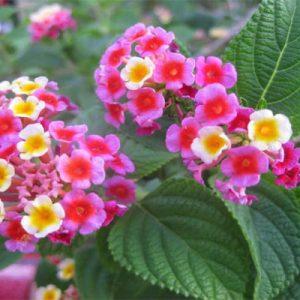 Công dụng của hoa ngũ sắc đối với sức khỏe được cả y học cổ truyền và y học hiện đại thừa nhận