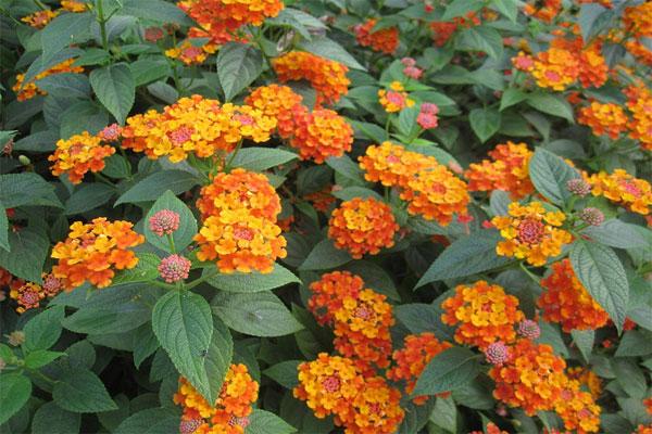 Đây là loại cây cảnh được trồng rất phổ biến tại nhiều nơi