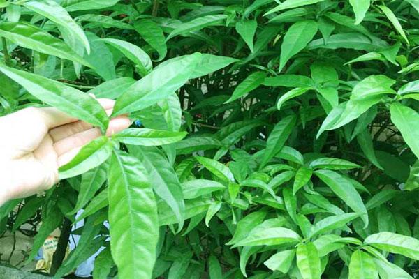 Hình thái của cây xương khỉ