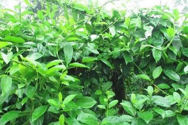 Dây thìa canh có bề ngoài rất giống với nhiều loại thực vật khác