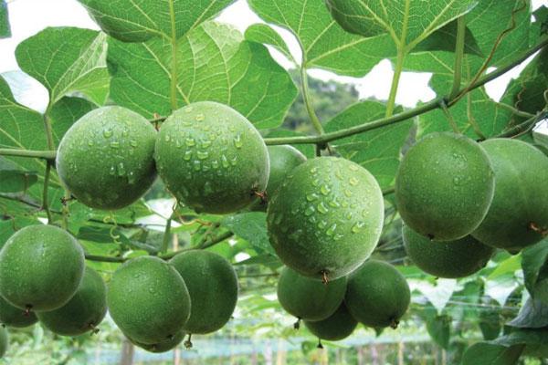 La hán quả là một loại thảo dược quý được sử dụng để chữa nhiều bệnh lý khác nhau.