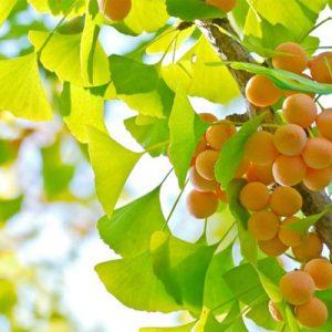 Quả của loại cây này có kích thước bằng quả mận, phần thịt có màu vàng